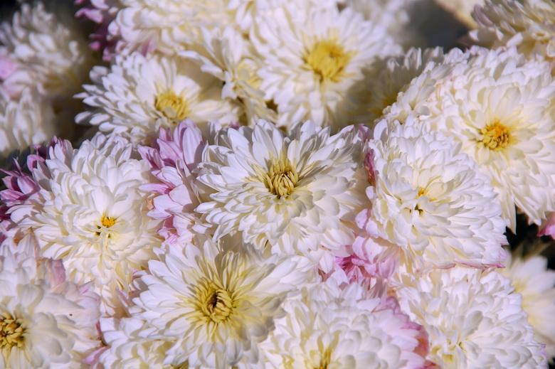услуг настолько фото хризантемы фотографии хризантем если ранние