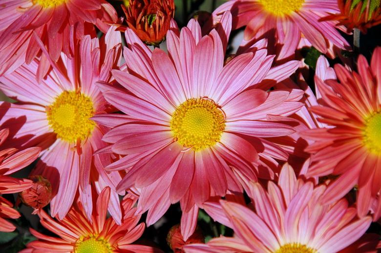 Фото садовых цветов розовые осенние