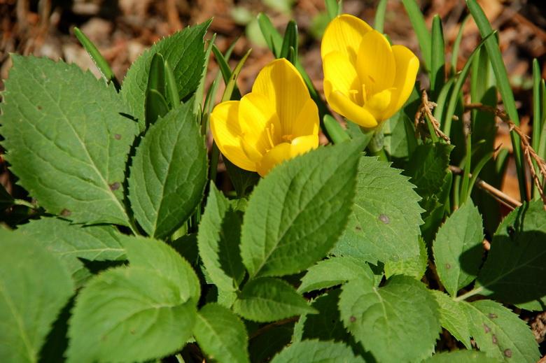 Фото крокусов жёлтые цветы шафрана